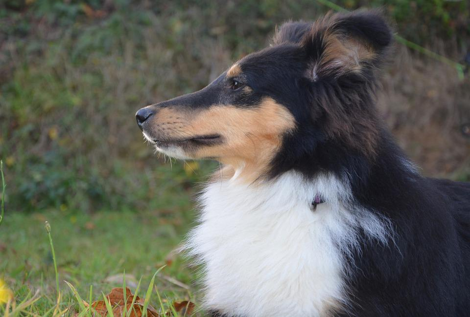 Shetland Sheepdog, Profile, Snout, Truffle, Ear Head