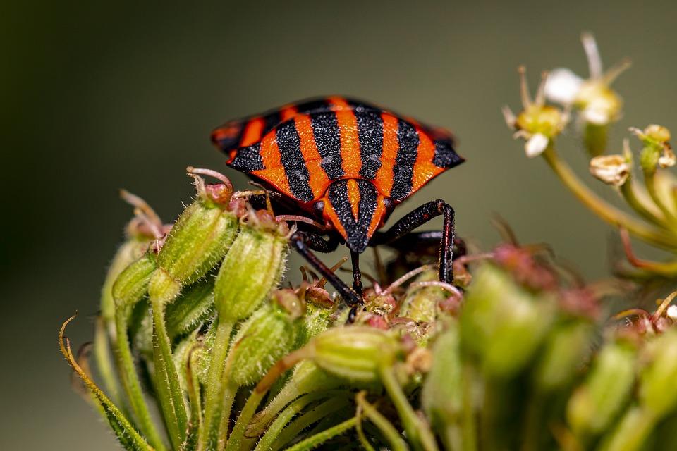 Bug, Shield Bug, Flower, Striped Bug