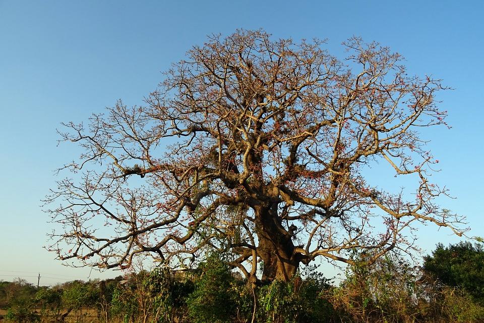 Free photo Shimul Old Heritage Tree Bombax Ceiba Flower - Max Pixel