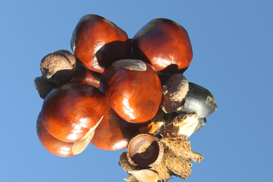 Chestnut, Horse Chestnut, Brown, Shiny, Autumn