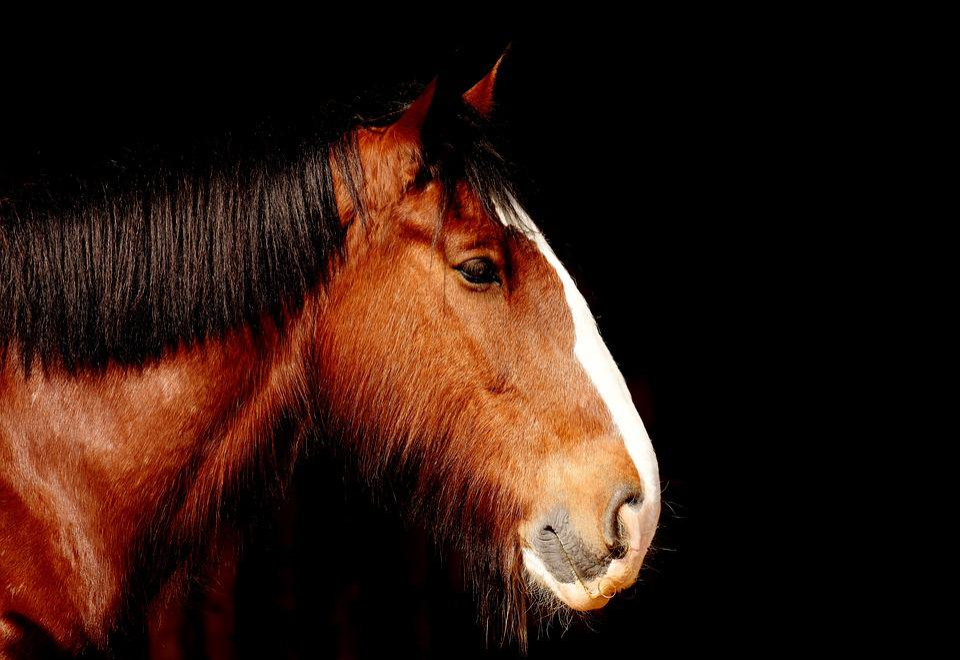 Shire Horse, Horse, Brown, Portrait, Beautiful, Animal