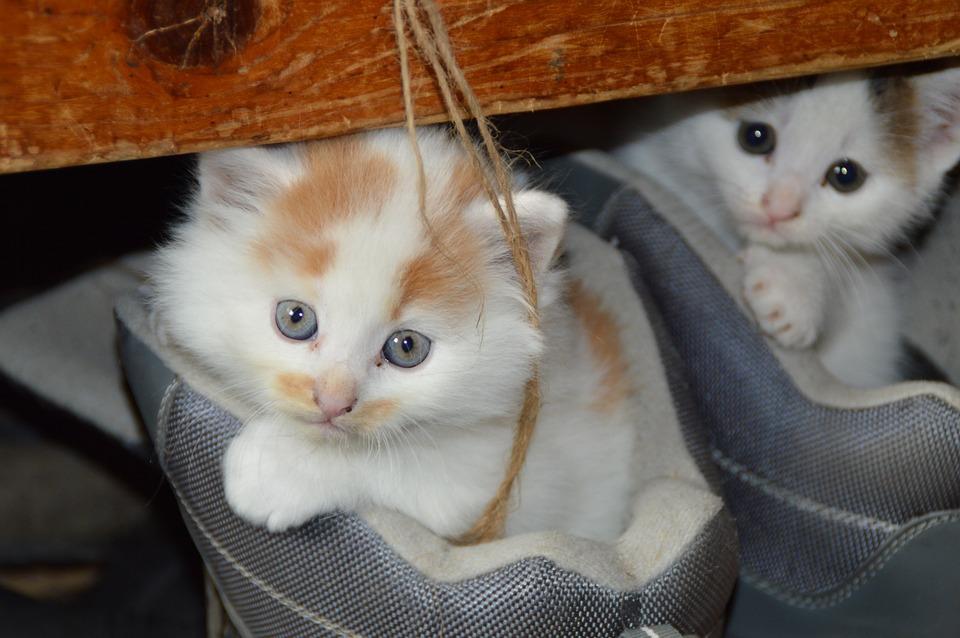 Cat, Pets, Cat's Eyes, Mieze, Dear, Cute Cat, Shoe
