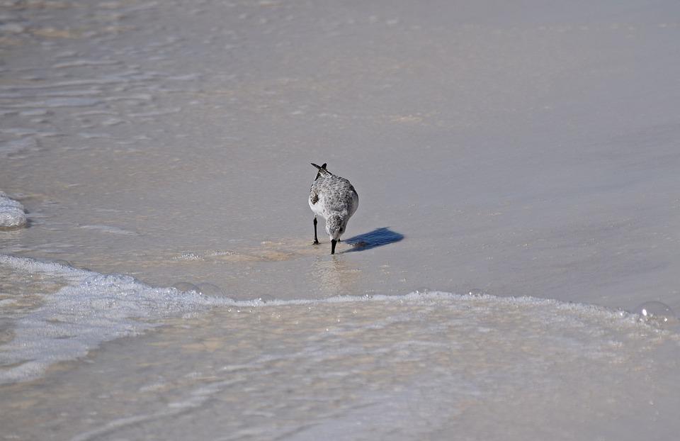 Sanderling, Shore Bird, Animal, Nature, Sand, Beach