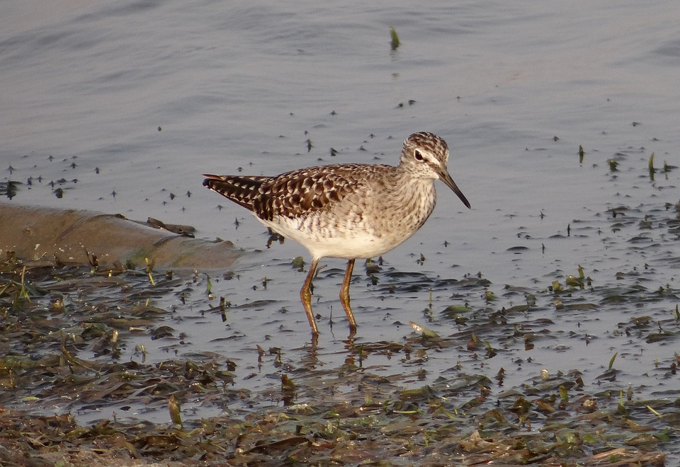 Wood Sandpiper, Bird, Sandpiper, Shorebird, Marsh, Lake