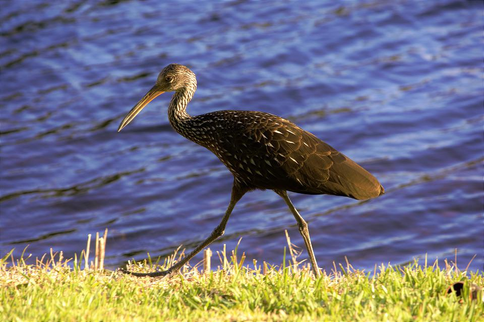 Bird, Ibis, Walking, Shoreline, Dark Colored, Brown