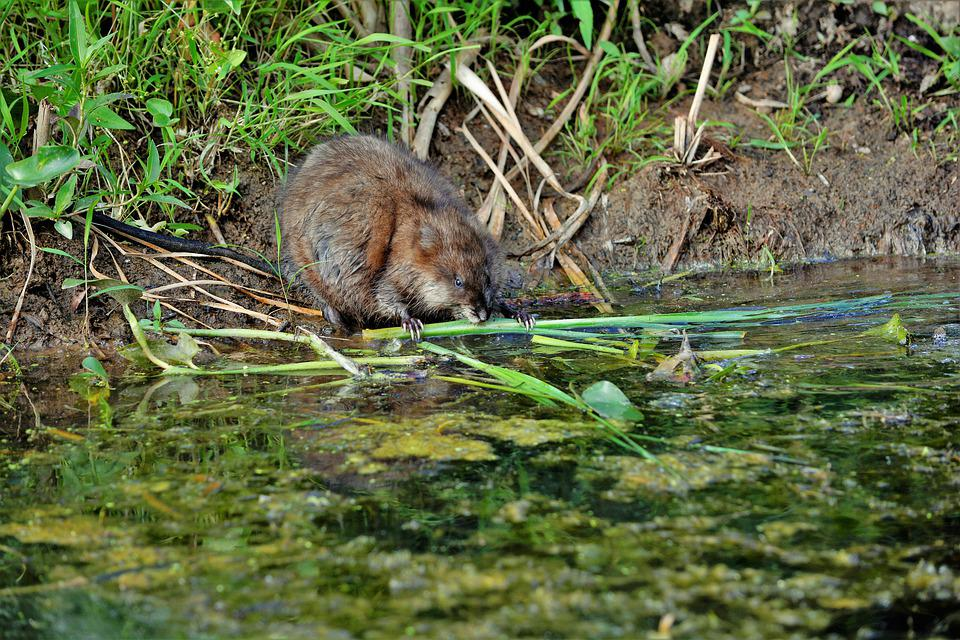 Muskrat, Young, Eating, Cattails, Shoreline