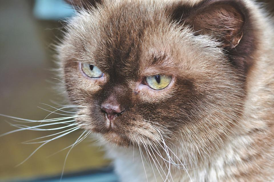 Breed Cat, Cat, Thoroughbred, British, Short Hair