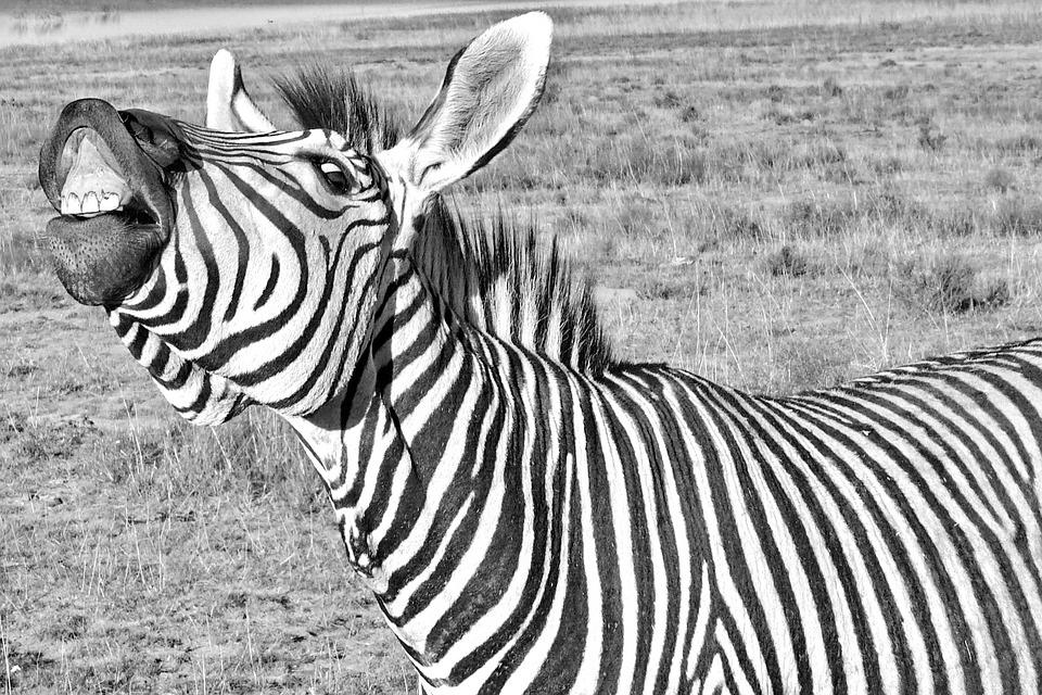 Zebra, Funny, Laughs, Shows Teeth, Tooth