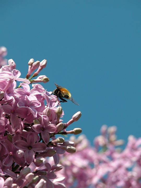 Bee, Honey Bee, Flower, Close, Acid, Shrub, Pink
