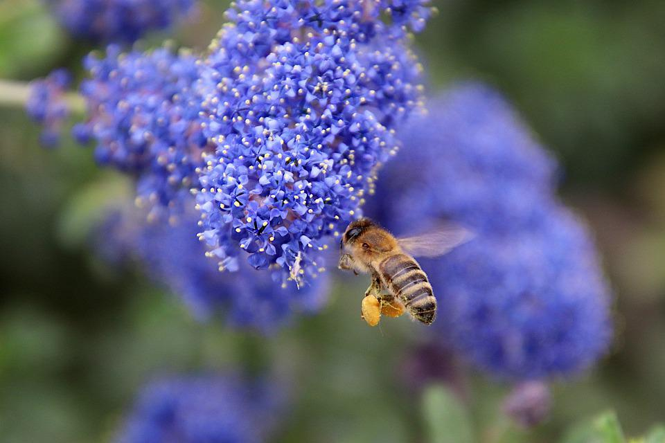Céanothe, Shrub In Flower, Color Blue, Plants, Bee