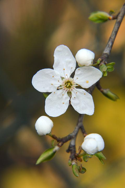 Flower, White, Tree, Shrub, Branch, Leaf, Bud, Spring