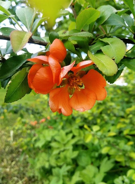 Shrub, Flowers, Inflorescences, Orange, Branch, Flora