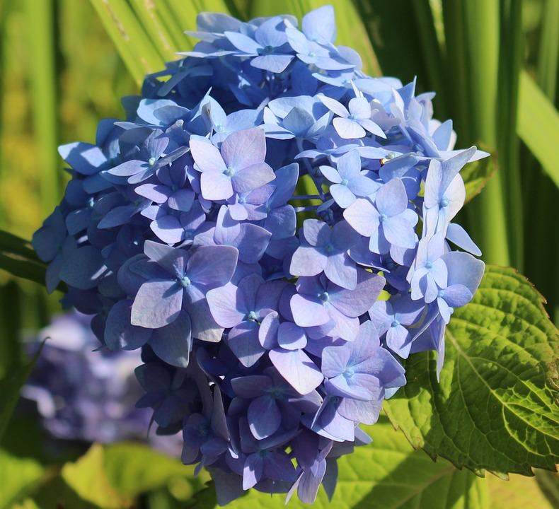 Hydrangea, Blossom, Bloom, Blue, Shrub Plant, Detail