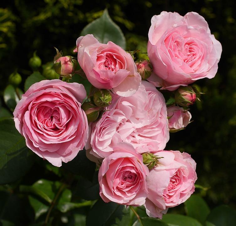 Shrub Rose, In Full Bloom, Floribunda, Filled