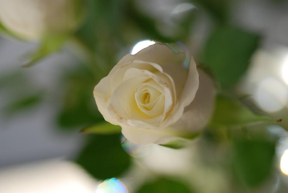 Rose, Flower, White Rose, Shrub Rose, Button, Green