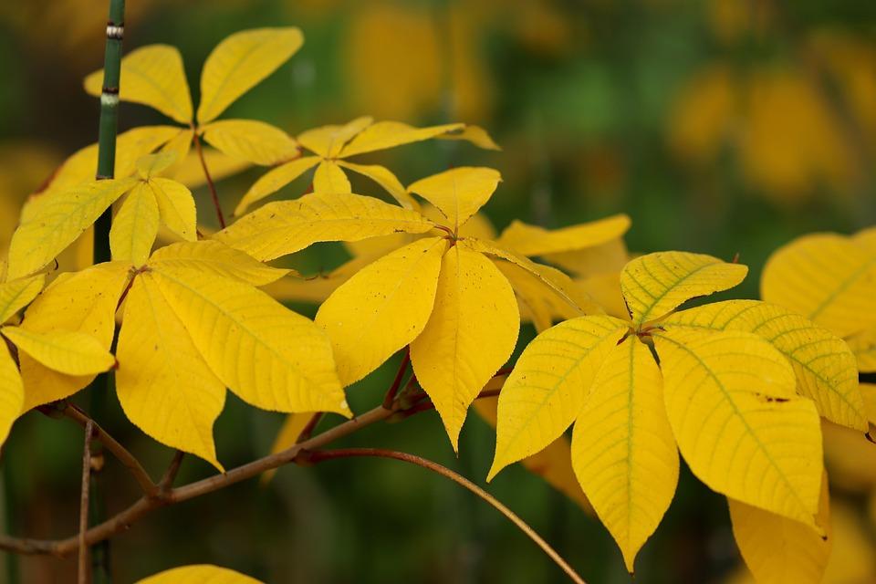 Shrub-horse Chestnut, Shrub Chestnut, Yellow, Leaves