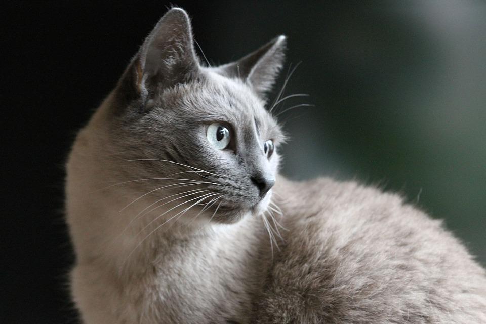 Cat Portrait, Siam, Cat, Pet, Wildlife Photography