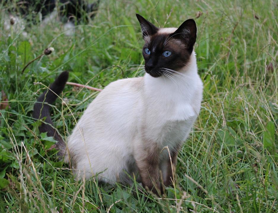 Cat, Siamese Cat, Domestic Cat, Breed Cat, Felidae, Pet