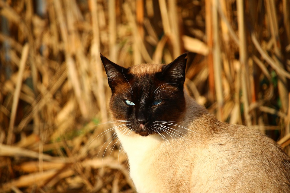Cat, Siamese Cat, Siamese, Breed Cat, Mieze, Cat's Eyes