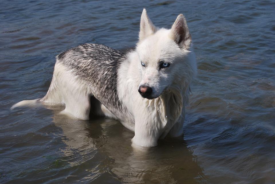 Siberian Husky, Dog In Water, Dog Wet