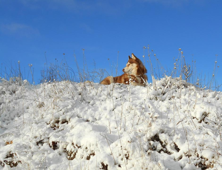 Siberian Husky, Dog, Pet, Mammals