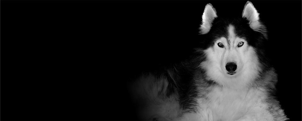 Free Photo Siberian Husky Snow Dog Wolf Animal Max Pixel
