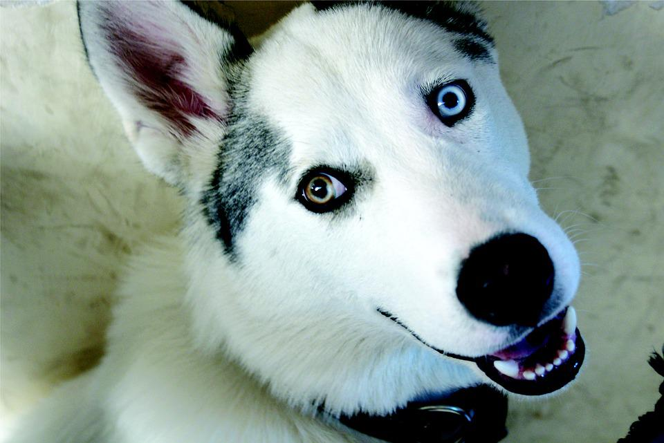 Dog, Wolf, Pet, Friend, Siberian Husky, Animal