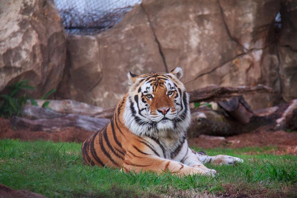 Tiger, Cat, Mike, Animal, Siberian