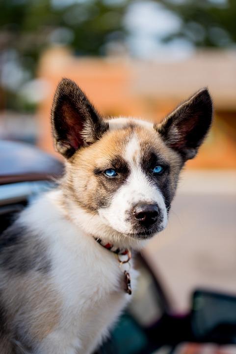 Dog, Pet, Eyes, Canine, Puppy, Siberian, Husky