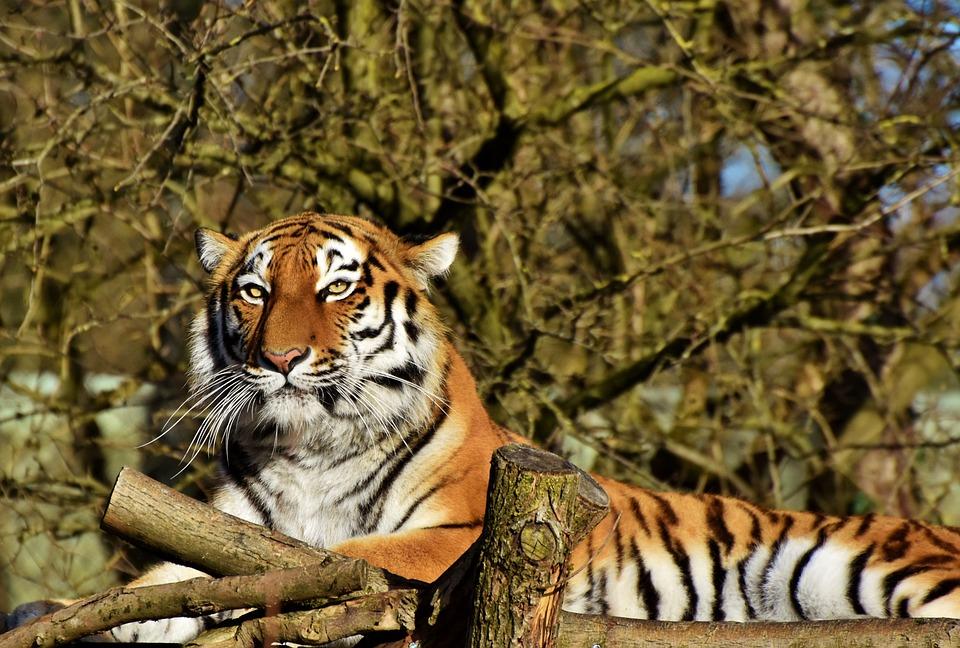 Tiger, Siberian Tiger, Big Cat, Predator, Carnivores