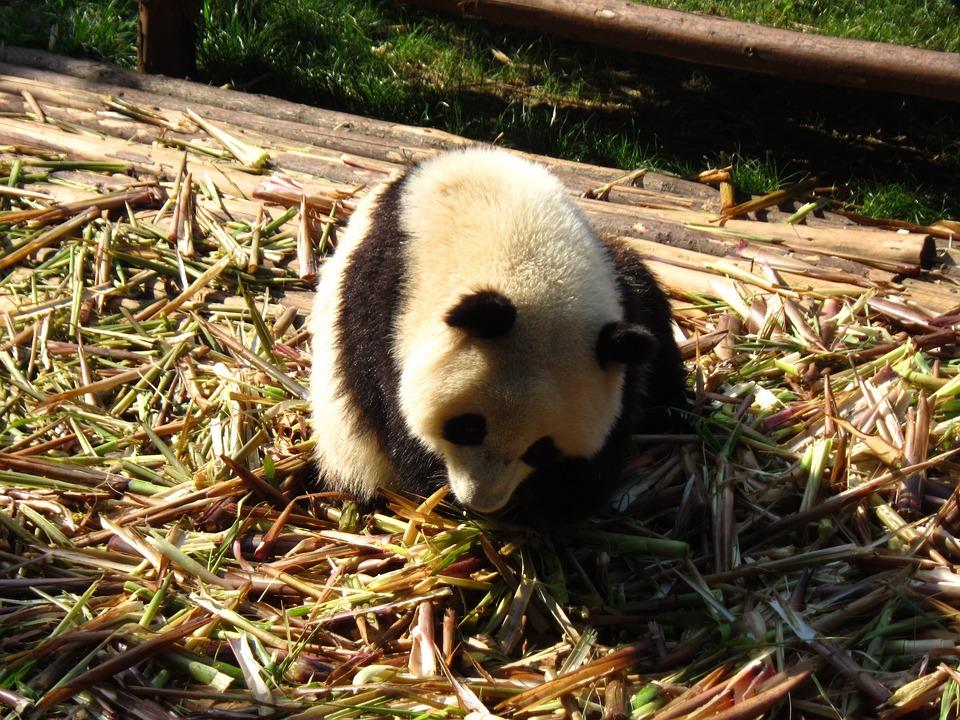 Panda, Sichuan, Moe