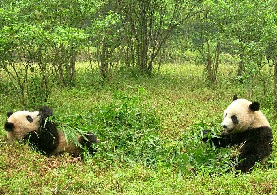 Pandas, Two Pandas, China, Sichuan, Panda Research