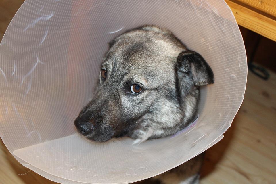Sick Dog, Elkhound, Funnel, Veterinary Visits