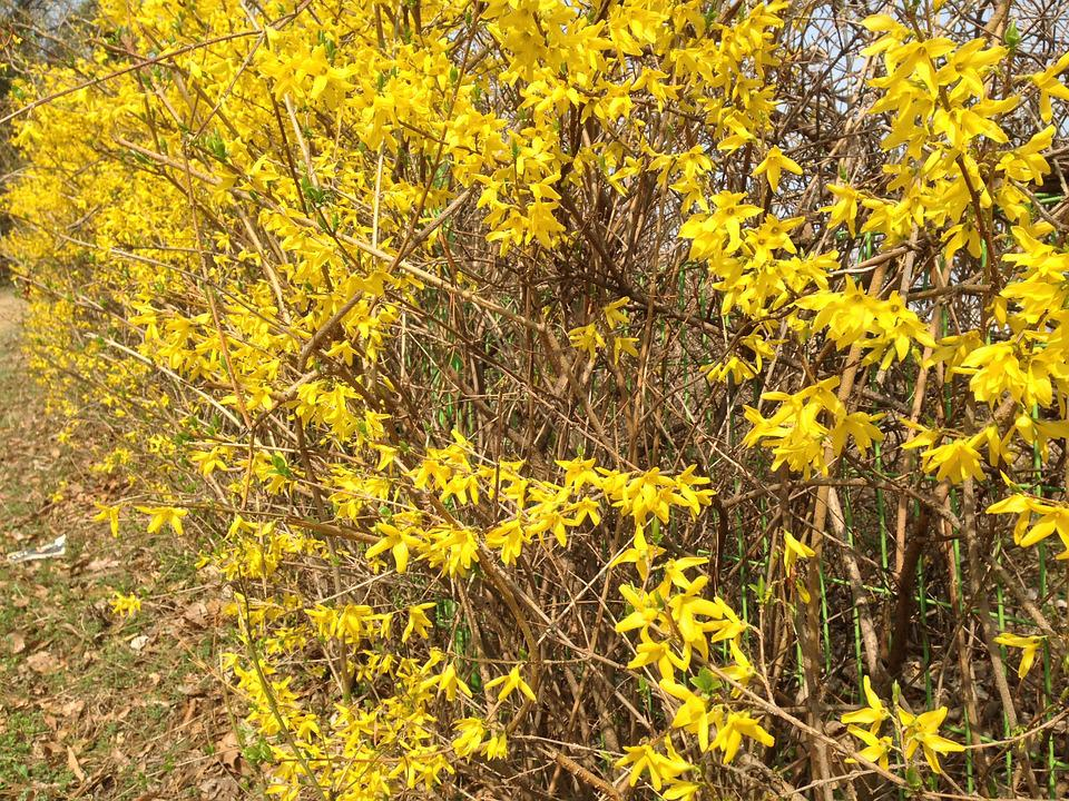 Forsythia, Side, Forsythia Tree