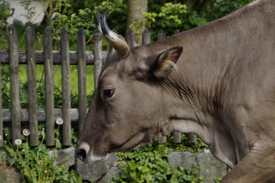 Cow, Head, Portrait, Animal Portrait, Horns, Side