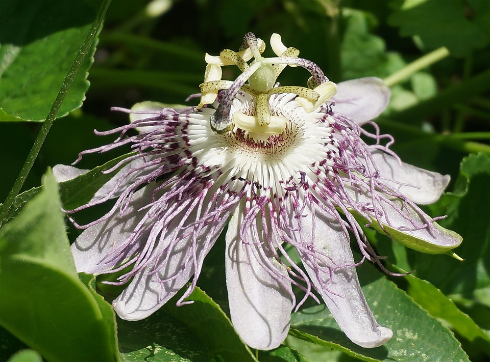 Passion Flower, Side View, Flower, Wild, Wildflower