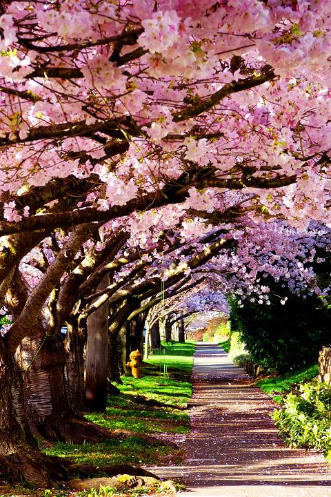 Blossoms, Cherry, Spring, Pink, Sidewalk, Seattle, City