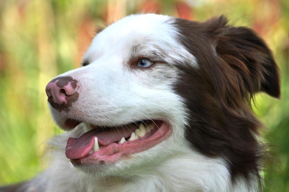 Border Collie, Muzzle, Sight, Dog, Pet, Animal Portrait