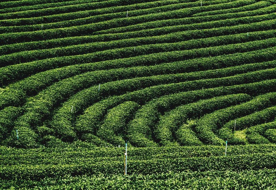 Tea Plantations, Sightseeing, Relaxing, Vacation