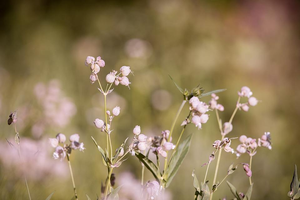 Forked Catchfly, Silene Dichotoma, Flower
