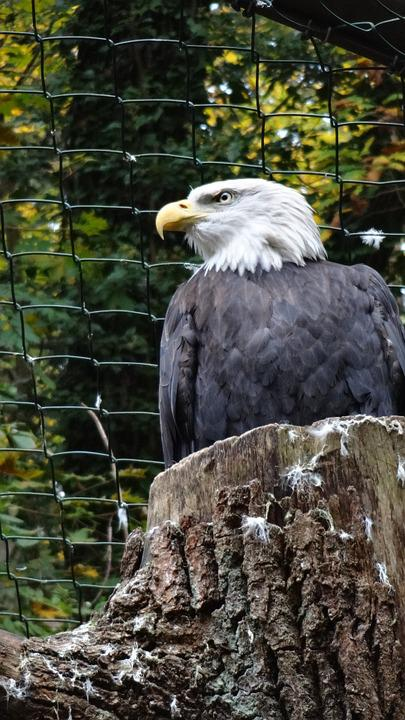 Adler, White, Golden Eagle, Silent, Nature, Cage