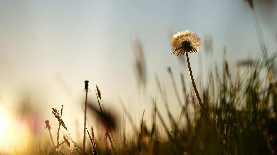 Summer, Dandelion, Sunset, Grass, Silhouette