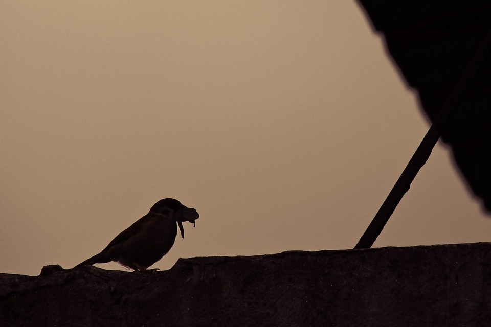 Sparrow, Bird, Hunting, Sunset, Silhouette