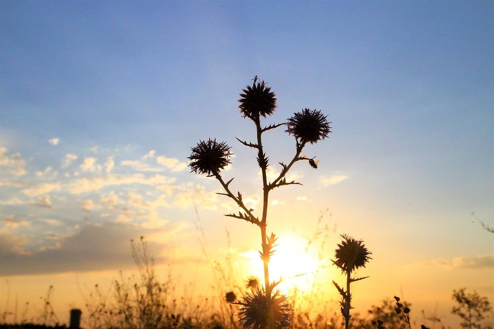 Silhouette, Flowers, Sun, Sunset, Sunrise, Sunlight