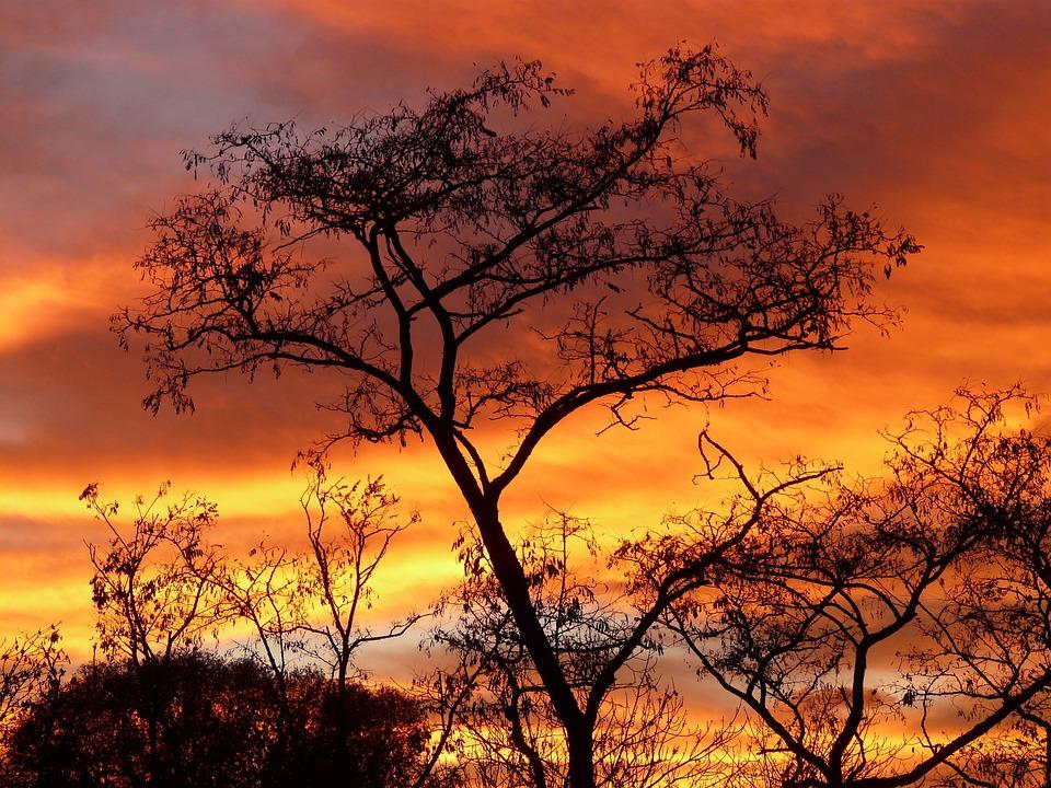 Trees, Dusk, Silhouette, Sunset, Acacia, Woods, Foliage