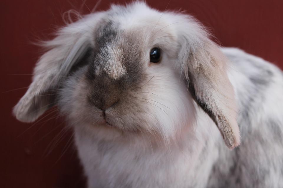 Bun, Rabbit, Cute, Bunny, White, Silver, Fur, Adorable