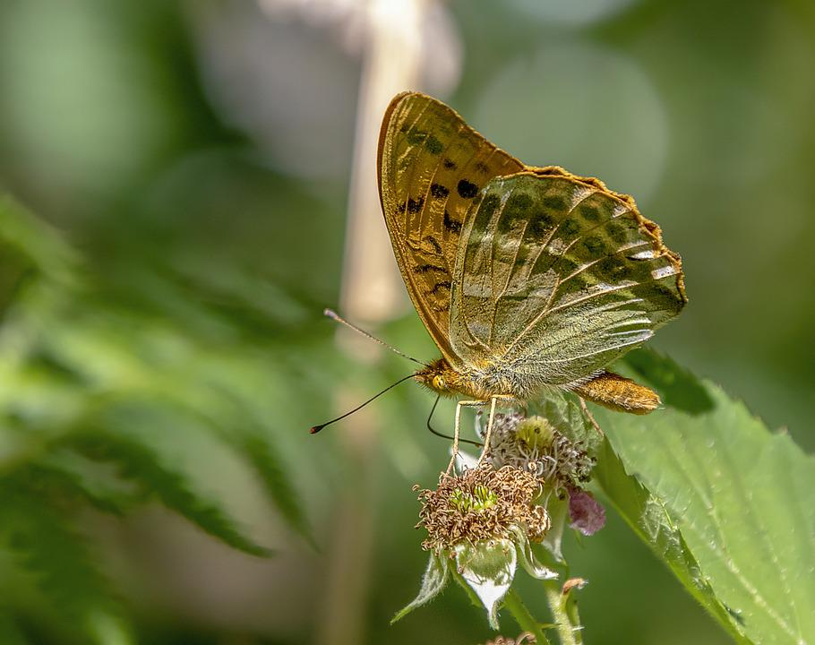 Butterfly, Silver Washed Fritillary, Wings, Antenna