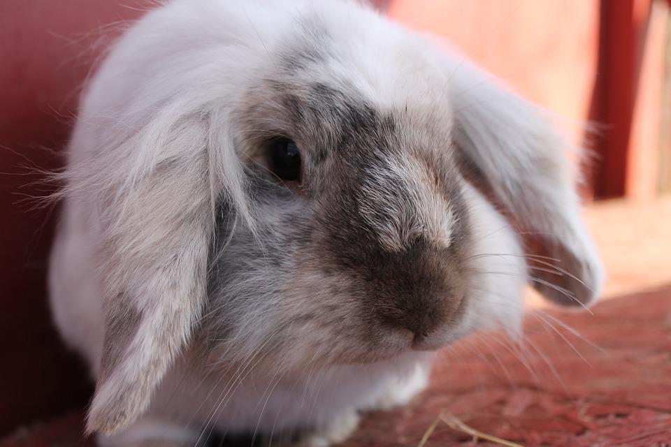 Rabbit, Fluffy, Bun, White, Silver, Cute, Adorable