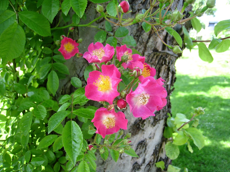Roses, Simple, Pink, Tree, Leaf, Green, Park, Summer