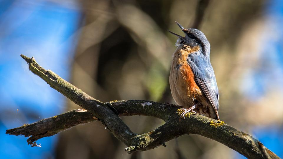 Brhlík Forest, Bird, Singer, Sitta Europaea, Branch
